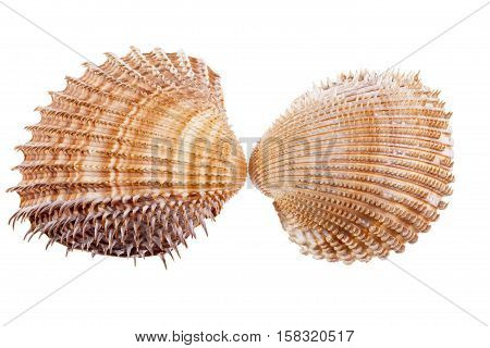 Sea shells of mollusk isolated on white background close up