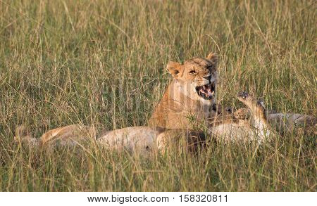 Several African lions lounging in grassland with one lioness snarling at another.