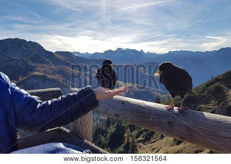 Blackbird / The Alpine chough / Birds fed with hands