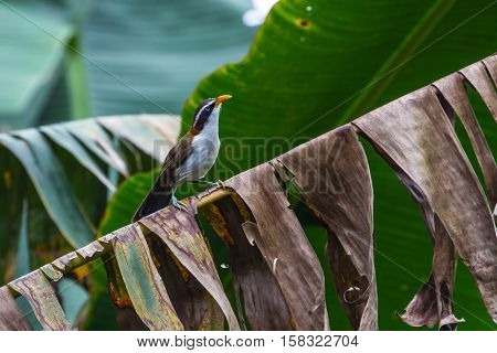 White-browed Scimitar-babbler In Nature