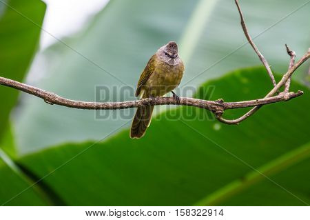 Flavescent Bulbul Species Perch On Branch
