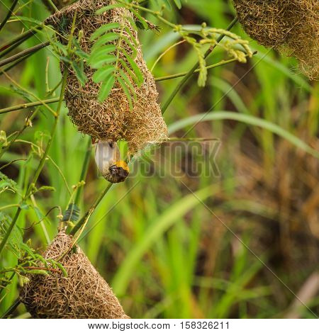 Asian golden weaver is found in Cambodia Indonesia Laos Myanmar Thailand and Vietnam.