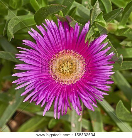 cactus dark pink flower closeup in the garden