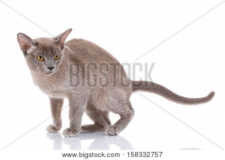 gray Burmese cat sits on a white background