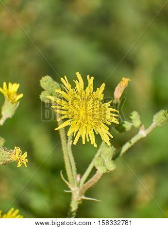 dandelion yellow wild flower closeup in the fields