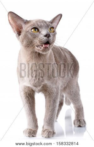gray burmese cat standing on a white background with open mouth