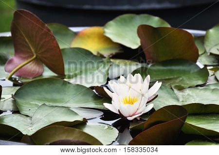 The white water lily between large leaves