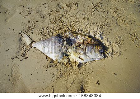 Death fish on the beach global warming extinction.
