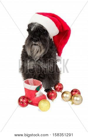 Black dog (Miniature Schnauzer) in Santa's hat is waiting for presents to be put in his Christmas stocking. Isolated on white background.