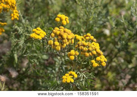 flowering tansy close up in summer day