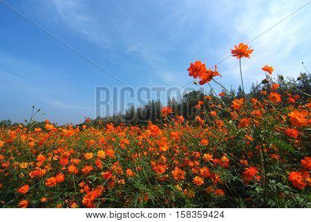 A landscape view of cosmos flower field (farm)