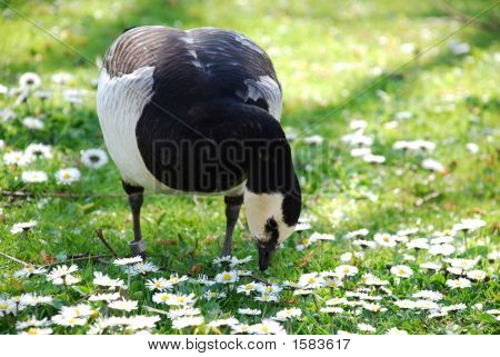 Goose With Marguerites