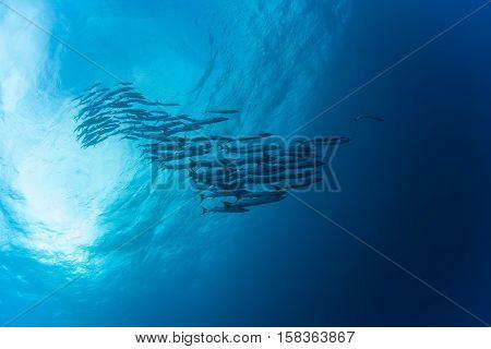 Barracuda Underwater Picture Sudan Red Sea Diving Safari