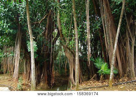 Liana Tangled Trees In Mauritius