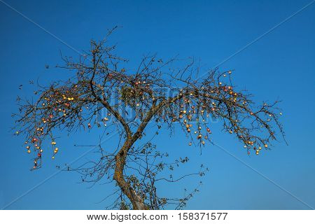 Apples on an old tree in autumn