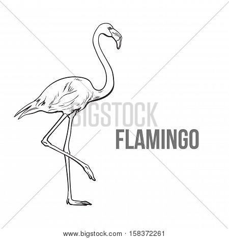 Hand drawn pink flamingo, colorful sketch style vector illustration isolated on white background. Hand drawing of pink flamingo, scientific ornithological illustration