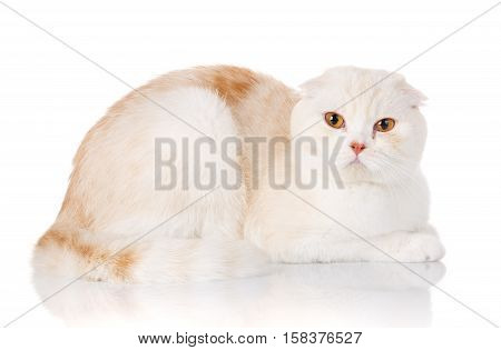 white shorthair British cat with yellow eyes lying on a white background
