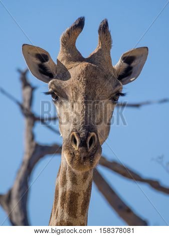 Portrait Of Curious Giraffe Loooking Straight To The Viewer, Safari In Moremi Np, Botswana
