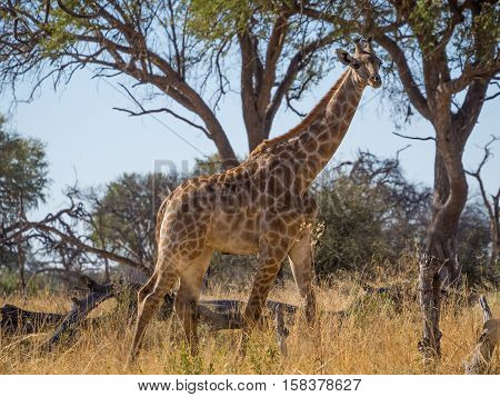 Tall adult giraffe striding through savannah environment with trees in background, safari in Moremi NP, Botswana