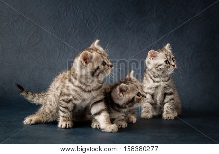 Two small striped young kittens scottish stright, sitting on a dark blue background