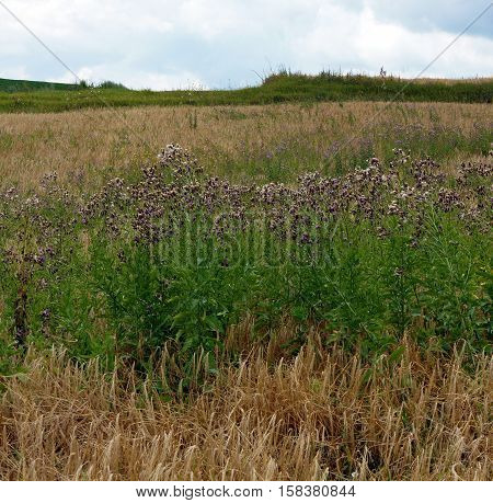 Field with thistle - Creeping Thistle also known as a Field Thistle (Cirsium arvense)