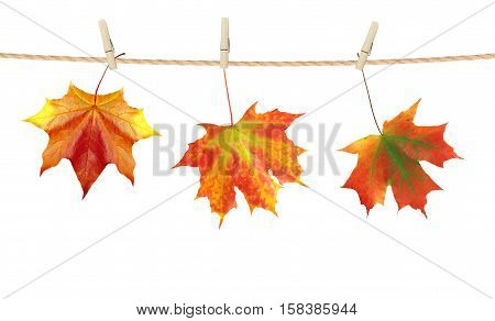 Autumn time decoration dry maple leaves pinned on rope with clothes pin isolated on white