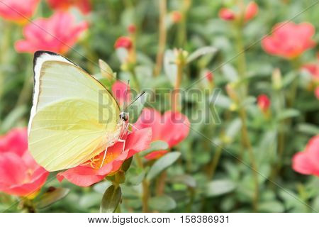 Butterfly Yellow Color On Pink Flower In The Gardent
