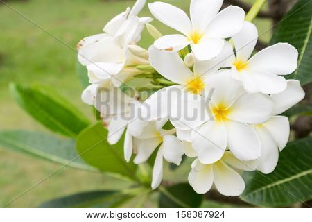 Plumeria bouquet white plumeria flowers on tree