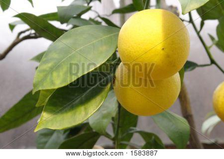 Lemon Branch