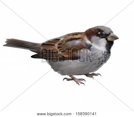 Sparrow - Passer domesticus. Hand drawn vector illustration of a male house sparrow on transparent background.