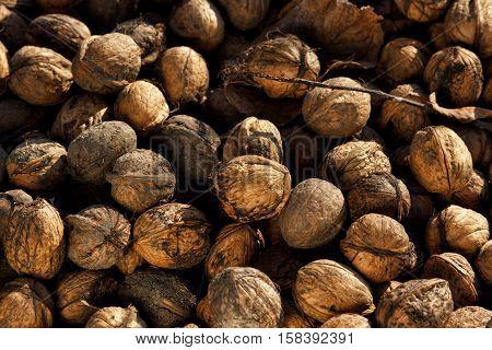 Ripe walnut on the branch of tree