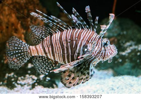 red lionfish in water with beautiful pattern