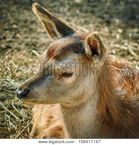 Image of Portrait of Deer without Horns