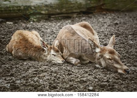 Image of Two Deers Sleeping on the Ground