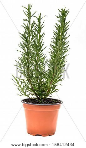 Rosemary in a pot  on a white background