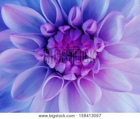 iridescent dahlia flower blooms. Macro. pink-blue center. Closeup. beautiful dahlia. for design. Nature.
