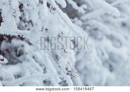 Frosty winter landscape in snowy forest. Pine branches covered with snow in cold winter weather. Christmas background with fir trees and blurred background of winter.