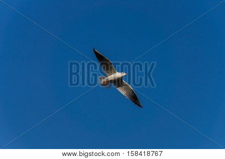 Close-up of a Seagull in flight. Flying Seagull