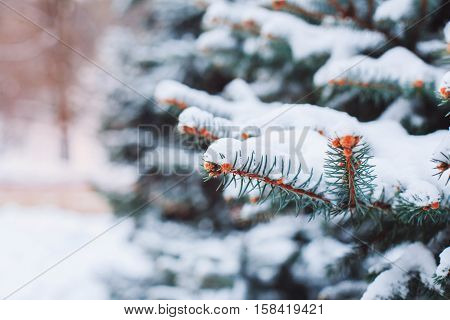 Winter landscape in snowy forest. Pine branches covered with snow in cold winter weather. Christmas background with fir trees and blurred background of winter