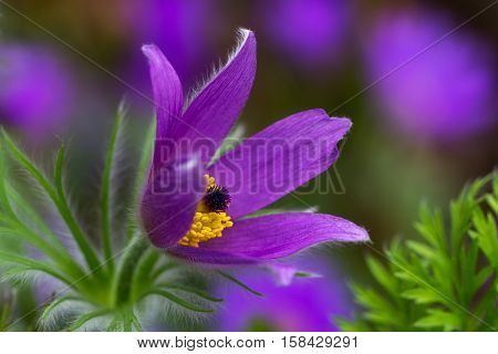 Pulsatilla easter flower on the spring meadow. Macro photography of nature.