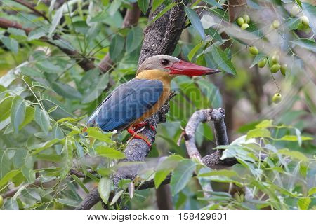 Stork-billed Kingfisher Pelargopsis capensis Birds of Thailand