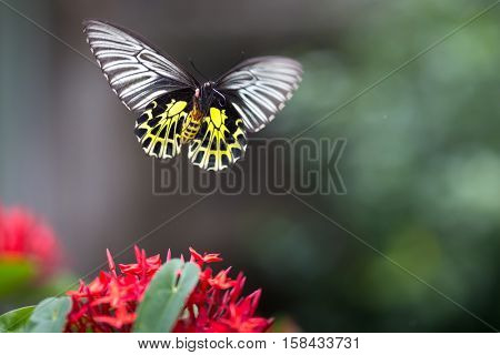 Beautiful Golden birdwing butterfly captured in flight and showing his trunk