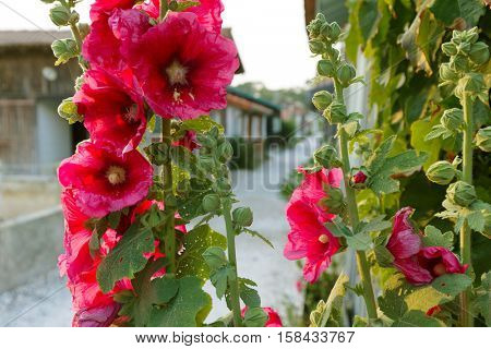 Hollyhock flowers at the French rural village of Canon, Bassin d' Arcachon near Bordeaux.