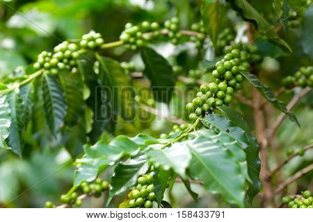 Organic coffee tree plantation with unripe seeds in Asia