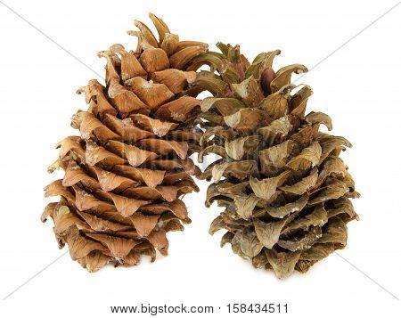 Cones of a Manchurian cedar (Korean pine). Ripe resinous cone.
