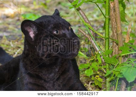 Black jaguar Panthera onca cub in a forest