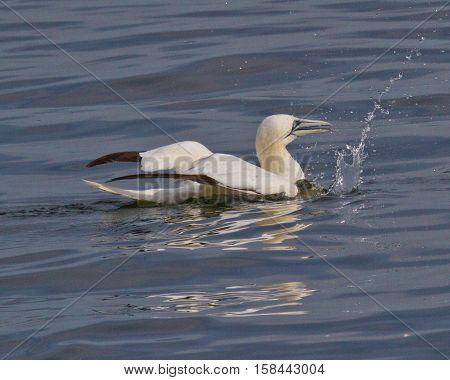 Northern Gannet sitting on Potomac River, Virginia