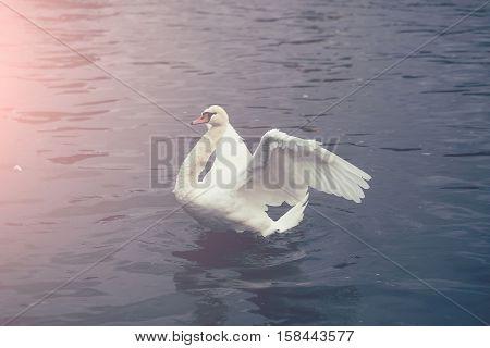 White Mute Swan