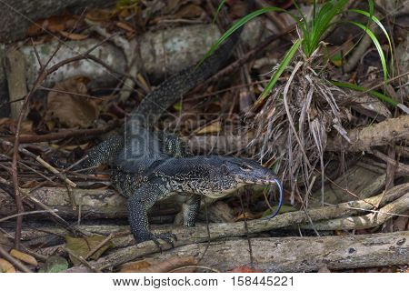 monitor lizard climbing from the water in Thailand