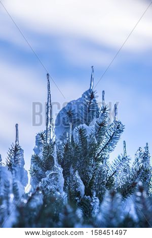 Spruce Branches Covered With Snow And Ice. Droplets Of Ice Frozen On Spruce Needles And Twigs.